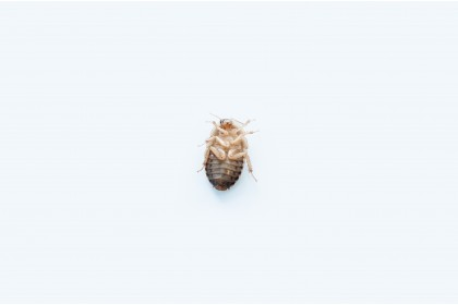 Live Feeder Insect - Dubia Roach